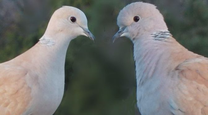 La Colombe, la Tourterelle et le Pigeon